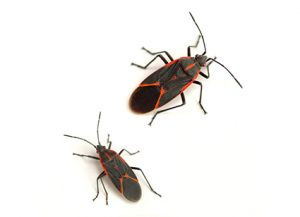 Boxelder Bugs - Perfection Pest Management - Indianola, Iowa