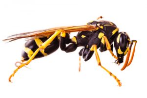 Wasps - Perfection Pest Management - Indianola, Iowa