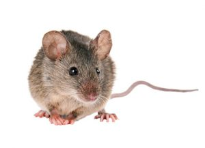 Mice - Perfection Pest Management - Indianola, Iowa