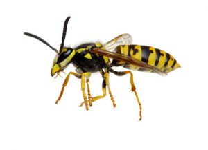 Hornets - Perfection Pest Management - Indianola, Iowa
