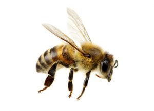 Bees - Perfection Pest Management - Indianola, Iowa