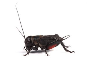 Crickets - Perfection Pest Management - Indianola, Iowa