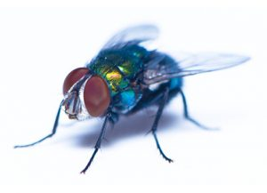 Flies - Perfection Pest Management - Indianola, Iowa