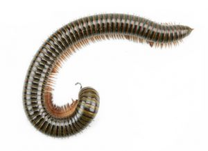 Millipedes - Perfection Pest Management - Indianola, Iowa