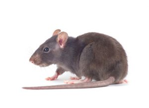 Rats - Perfection Pest Management - Indianola, Iowa