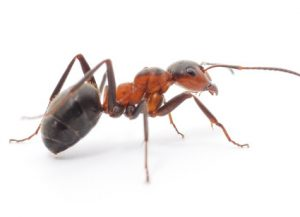 Ants - Perfection Pest Management - Indianola, Iowa